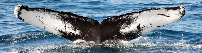 humback whale migration in wa